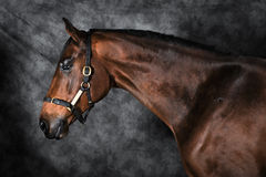 Bay Horse fine art Stock Image