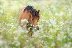 Bay hutsul horse stock photography
