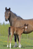 Bay Horse  and Foal Stock Photography