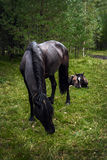 The bay horse with a foal Stock Photo