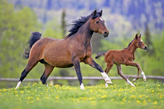 Bay Horse and Foal running together Royalty Free Stock Image