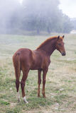 Bay horse in the fog Stock Photos