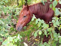 Bay horse in the forest royalty free stock photo