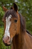 Bay horse front view. A brown bay horse facing the camera with green foliage in the background royalty free stock images