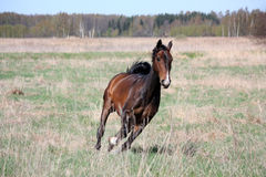 Bay horse galloping at the field Stock Images