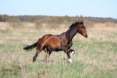 Bay horse galloping at the field Stock Image