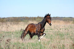 Bay horse galloping free at the field Stock Photography