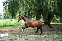 Bay horse galloping free in the meadow. In summer Royalty Free Stock Photo