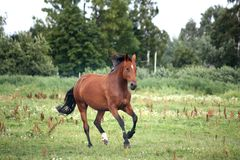 Bay horse galloping free at the pasture. In summer Royalty Free Stock Photo