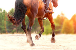 Bay horse galloping on the sand on a sunny day Stock Photography