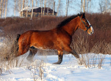 Bay horse galloping in winter stud farm Royalty Free Stock Image