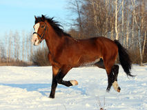 Bay horse galloping in winter stud farm. Bay colored purebred yearling horse galloping in winter stud farm stock images