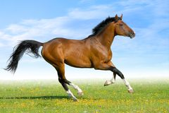 Bay horse gallops in field. In summer Royalty Free Stock Image