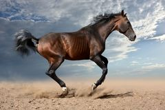 The bay horse gallops rapidly. The bay horse gallops wildly across the vast expanses steppe royalty free stock photo