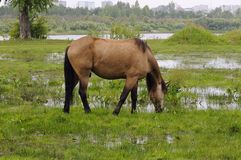 The bay horse is grazed on a meadow. Stock Photography