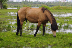 The bay horse is grazed on a meadow. Royalty Free Stock Photos