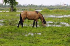 The bay horse is grazed on a meadow. Royalty Free Stock Image