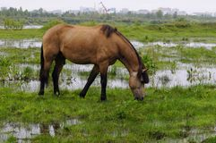 The bay horse is grazed on a meadow. Royalty Free Stock Photography