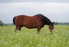 A bay horse  grazes on the  field Stock Image