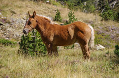 Bay horse grazes on meadow in mountain valley in Pyrenees near C Royalty Free Stock Images