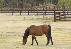 Bay Horse Grazing in Autumn Field stock images