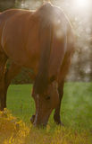 Bay horse grazing in evening sun Stock Images