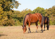 Bay horse grazing in fall pasture. Bay Arabian horse grazing in dry fall pasture Royalty Free Stock Images