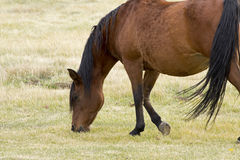 Bay Horse Grazing In Field Royalty Free Stock Image