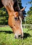 Bay Horse Grazing in Grass Field with Flies in Eyes Stock Photos