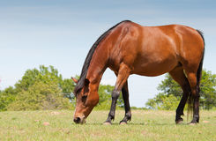 Bay horse grazing. In spring pasture Stock Image