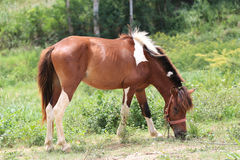 Bay horse grazing in spring pasture.  Royalty Free Stock Photography