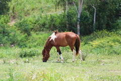 Bay horse grazing in spring pasture.  Royalty Free Stock Photos
