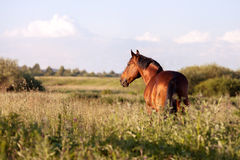 Bay horse on a green background looking into the distance. Bay horse stands on green field and looks into the distance royalty free stock photography