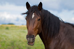 Bay horse grimace. Bay horse with a white spot grimace Stock Photography