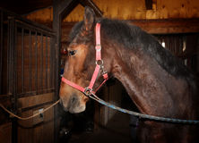 Bay horse with harness standing in the stall Stock Photos