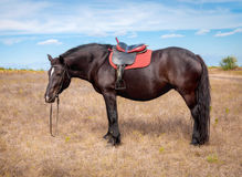 Bay horse harnessed seat Royalty Free Stock Photo