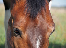 Bay horse head close up Stock Images