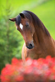 Bay horse head on green background Royalty Free Stock Photo