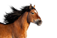 Bay horse head isolated. Bay horse head gallops, isolated on white background Royalty Free Stock Photos