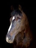 Bay Horse Head Shot Royalty Free Stock Images