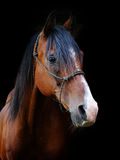 Bay Horse Head Shot Stock Image