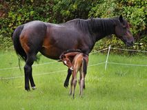 Bay Horse with her Foal Stock Image