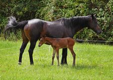 Bay Horse with her Foal Royalty Free Stock Images