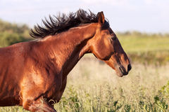 Bay horse is on the high grass. Close-up. Bay horse is on the high grass stock photography