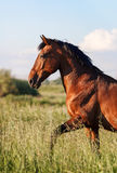 Bay horse is on the high grass. Close-up. Bay horse is on the high grass royalty free stock photos