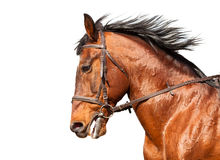 Free Bay Horse In Profile On A White Background. Close-up. Stock Photos - 53691013