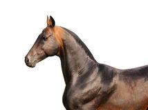 Bay horse isolated. On the white Stock Photos