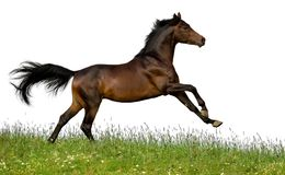 Bay horse isolated. Bay horse on grass isolated on white background Royalty Free Stock Images