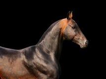 Bay horse isolated on black. Background Royalty Free Stock Image