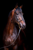 Bay horse isolated on black Stock Photography